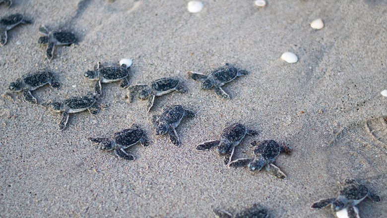 Record Breaking Year For Sea Turtle Nests on NC Coast